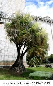 Elephant's foot or ponytail palm (Beaucarnea recurvata) tree
