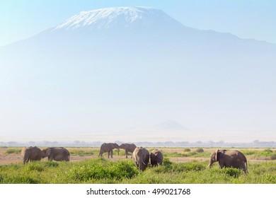 Elephants in front of Kilimanjaro at the background shot at Amboseli national park, Kenya. Horizontal shot