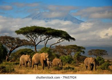 Elephants in front of Mt. Kilimanjaro, Amboseli, Kenya