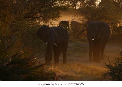 Elephants in golden light