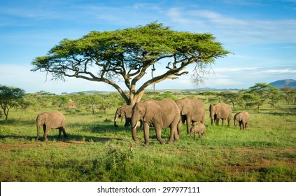 Elephants group in african savannah