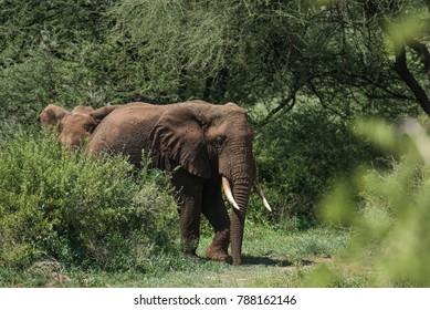 Elephants hiding in bushes in Manyara park, Tanzania