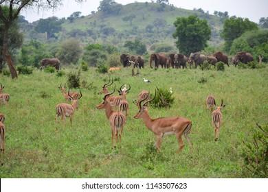 The elephants and impala at play in Tanzania