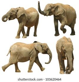 Elephants isolated on white background