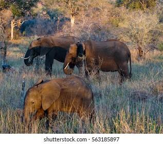 Elephants of Kruger Park