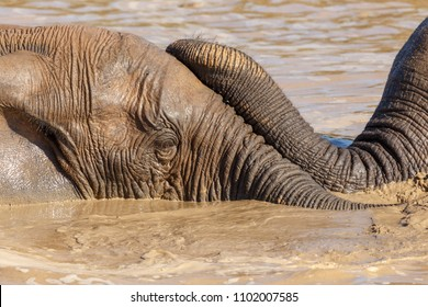 Elephants laying with their trunks on each other in the water