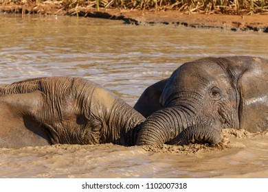 Elephants laying with their trunks tied around each other