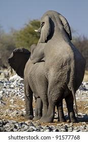 Elephants mating; Loxodonta africana