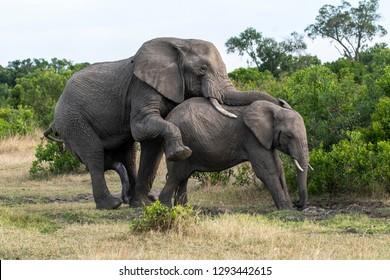 Elephants mating in Masai Mara national reserve during a wildlife safari
