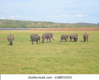 Elephants at Minneriya national park in Sri Lanka