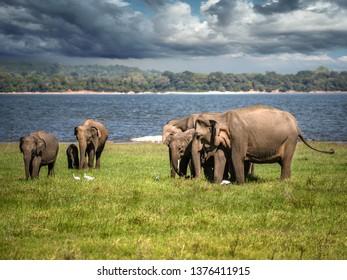 Elephants in Minneriya National Park in Sri Lanka, March 11, 2019.