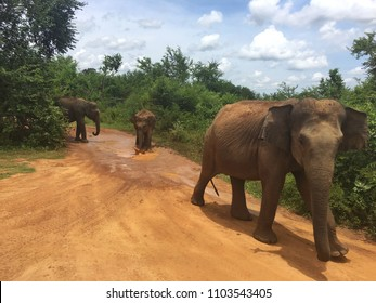 Elephants in national park, Sri Lanka