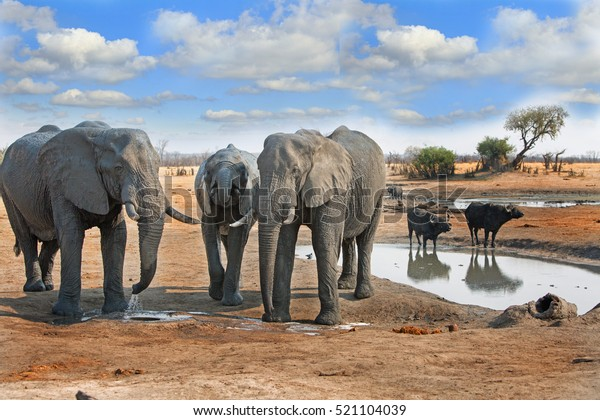 elephants-next-waterhole-two-cape-600w-5