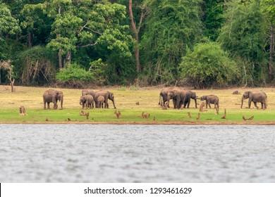 Elephants on the banks of Kabini river, Nagarhole, Karnataka, India.