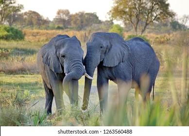 Elephants on an island in the Okavango Delta near Maun, Botswana
