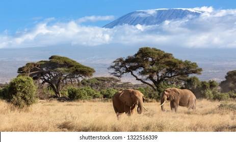 Elephants on mount Kilimanjaro background
