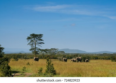 Elephants pass in front of an isolated tree on the savanna with a bright blue mid day sky