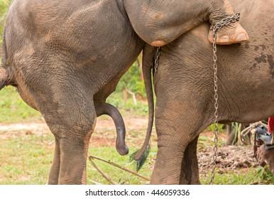 elefant penis stok