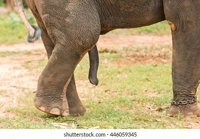 Elephant's penis