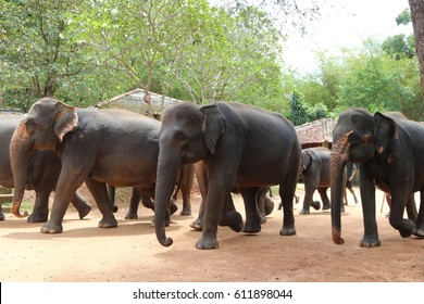 Elephants from Pinnawala Elephants Orphanage parading through the street after their daily bathing at the river, Sri Lanka