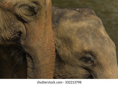 elephants in pinnawela sri lanka