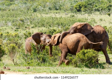 Elephants playing with each other in the field