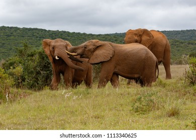 Elephants playing with his mates in the field