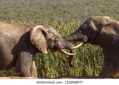 Elephants playing with their trunks at the dam