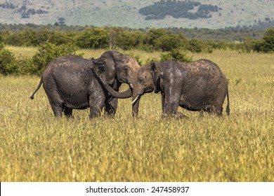 Elephants playing together at a wildpark in Maasai Mara, Kenia.