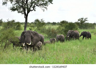 elephants in a queue walking in grass,South Africa