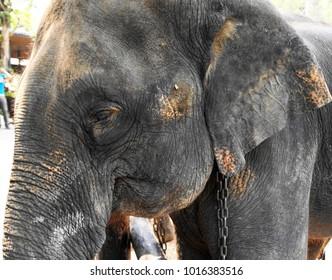 Elephants roaming in Chiang Mai, Thailand.