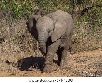 Elephants of Sabi Sands