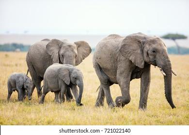 Elephants in safari park in Kenya Africa