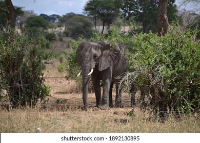 Elephants in the savanna in Tanzania