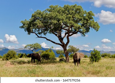 Elephants in the shade of a Marula tree, Kruger National Park. Clouds hanging in blue sky