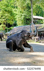 The elephants showing their skill of playing ,hula hoop for the elephant shows Mae Sa Elephant Camp in Chiang Mai, Thailand