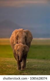 Elephants in Sidelight of Sunrise !  Mother and Baby Elephant walking straight towards me at Sunrise. Shot at Amboseli.