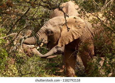 Elephants standing together eating branches in the field