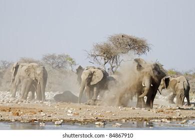 Elephants taking a dust bath; Loxodonta africana; Etosha