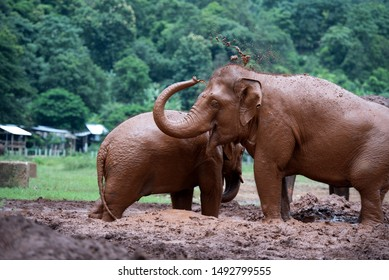 Elephants taking mud bath at elephant nature park in chiang mai, thailand