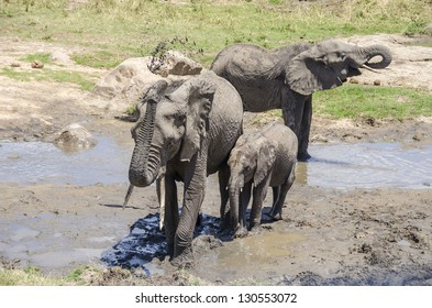Elephants taking a mud bath, Tarangire national park, Tanzania