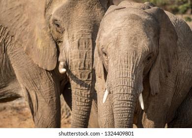 Elephants, Torra conservancy, Kunene Region, Namibia