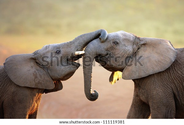 Éléphants se touchant doucement (salutations) - Parc national Addo Elephant