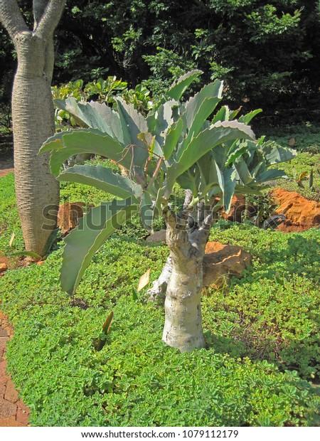 Elephants Trunk Tree Botanical Garden Stock Photo Edit Now