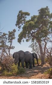 Elephants under a tree, Moremi game reserve, Botswana, Africa