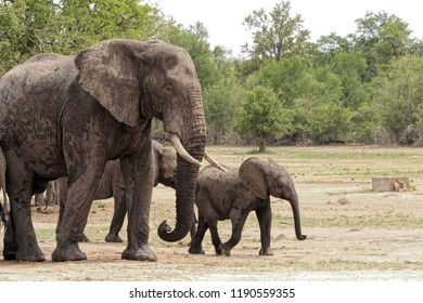 Elephants in various sizes in the natural habitat