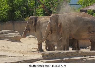 Elephants walk away
