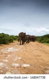 Elephants walking along the gravel road in the rain
