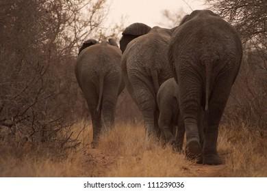 Elephants Walking away