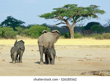 Elephants walking away from camera towards an acacia tree, across the dry dusty plains in Hwange National Park, Zimbabwe, Southern Africa